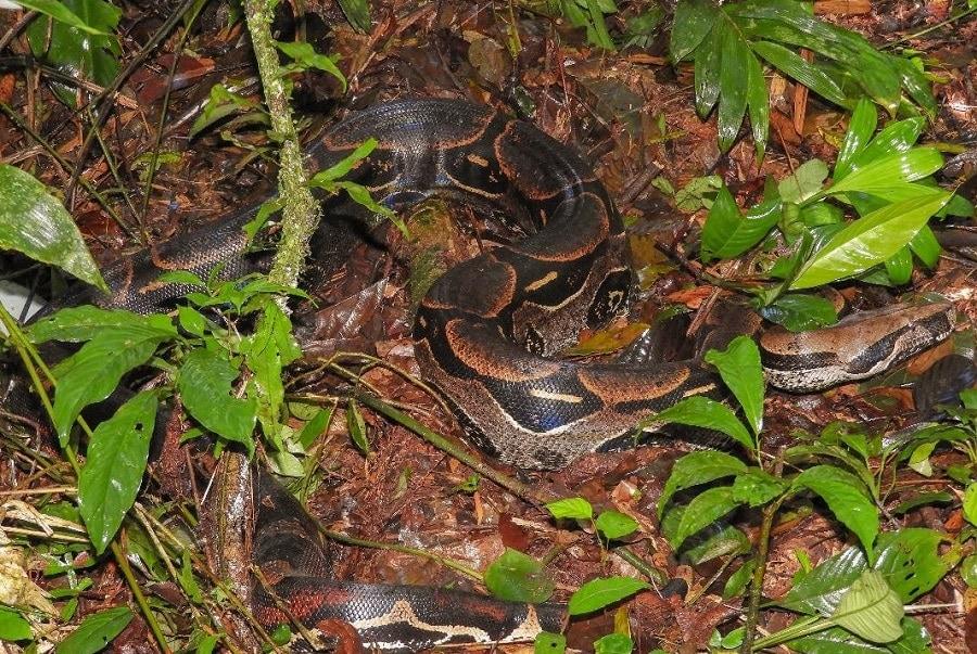 boa-manu-amazon-rainforest-crees-deigo-sanchez3