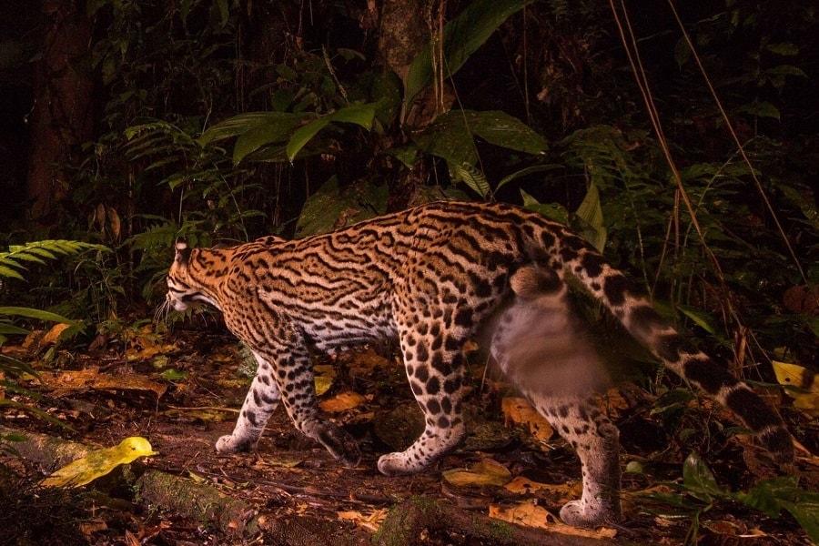 Amazon rainforest ocelot - photo#39