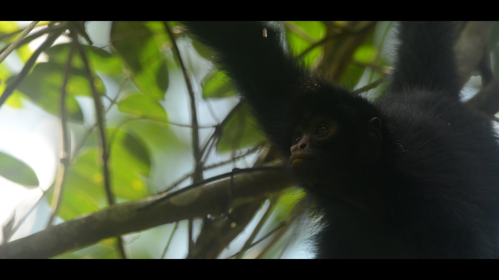 spider-monkey-eilidh-munro-crees-foundation